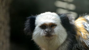 White-headed marmoset Stock Photo