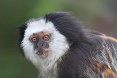 White-headed marmoset. The detail of white-headed marmoset Royalty Free Stock Photo