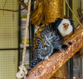 White headed marmoset, a popular monkey from Brazil, exotic cute pets. A white headed marmoset, a popular monkey from Brazil, exotic cute pets stock photography