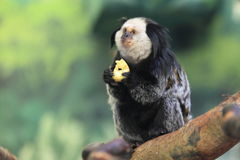 White-headed marmoset. Sitting and eating on the tree stock images