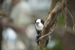 White-headed Marmoset sitting in a tree Royalty Free Stock Images