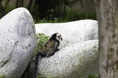 White-headed marmoset. (Callithrix geoffroyi), also known as the tufted-ear marmoset, Geoffroy's marmoset, or Geoffrey's marmoset royalty free stock images
