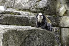 white-headed marmoset stock photography