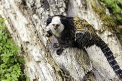 white-headed marmoset stock photos
