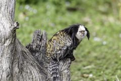 White-headed marmoset. (Callithrix geoffroyi), also known as the tufted-ear marmoset, Geoffroy's marmoset, or Geoffrey's marmoset royalty free stock photos