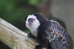 White-headed marmoset Royalty Free Stock Photo