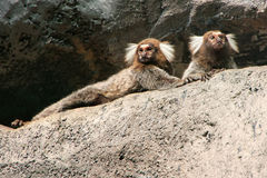 White-headed marmosets Royalty Free Stock Images