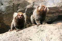 White-headed marmosets Stock Photos
