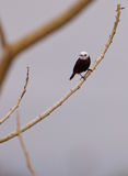White-headed Marsh Tyrant Stock Images