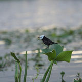 The white-headed marsh tyrant (Arundinicola leucocephala) Royalty Free Stock Photos