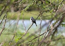 White-headed Marsh Tyrant, French Guiana. The Pied Water Tyrant (Fluvicola pica) is a small passerine bird in the tyrant flycatcher family. This species is found royalty free stock image