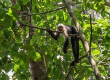White-headed monkey with a fruit in  Corcovado. White-headed monkey with a fruit Stock Photo