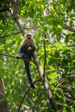 White-headed monkey with a fruit in  Corcovado Royalty Free Stock Photography