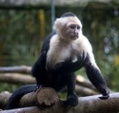 White headed monkey. Taken in Costa rican jungle stock photo