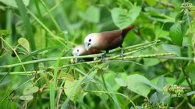 The White-headed Munia - Loncura maja, These birds usually live in the rice fields and like to eat rice stock video