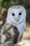 White-headed owl posing and looking at camera Royalty Free Stock Image
