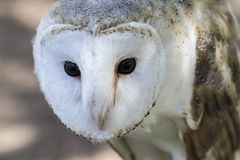 White-headed owl posing and looking at camera. White-headed owl plumage and pointed beak, spain royalty free stock images