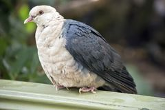 A white headed pigeon. The white headed pigeon is perched on a fence stock image