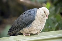 A white headed pigeon. The white headed pigeon is perched on a fence royalty free stock images
