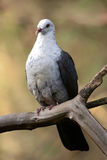 White-headed Pigeon. White headed pigeon resting on branch. Australian native bird stock photo