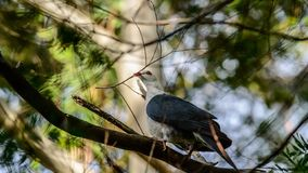 White headed pigeon with twig in beak. In Australia stock images
