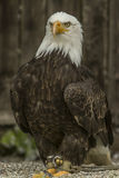 White headed sea eagle (Haliaeetus leucocephalus) Royalty Free Stock Images