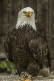 White headed sea eagle (Haliaeetus leucocephalus). Portrait of a white headed sea eagle stock images