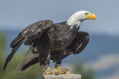 White headed sea eagle (Haliaeetus leucocephalus) Stock Image
