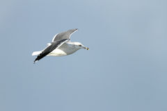 White headed seagull in flight Royalty Free Stock Photos