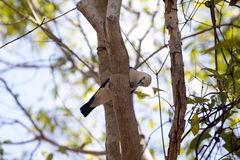 White-headed Vanga, Artamella viridis, has a beak caught moth, reserve Tsingy Ankarana, Madagascar. One White-headed Vanga, Artamella viridis, has a beak caught royalty free stock photography