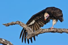 White headed vulture Stock Photography