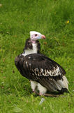 White-headed Vulture Stock Images