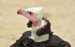 White-headed Vulture Stock Photo