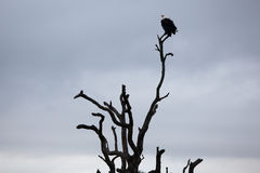 White-headed Vulture on bare tree trunk Royalty Free Stock Photography