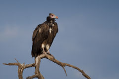 White-headed vulture, Botswana. White-headed vulture (Trigonoceps occipitalis) subadult, Chobe National Park, Botswana stock photography