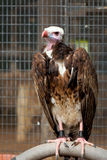 White-headed Vulture Stock Photo