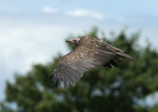 White-headed vulture. Close up of a White-headed vulture in flight stock photography