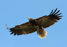 White-headed vulture. Close up of a White-headed vulture in flight stock photo