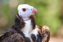 White-headed Vulture. Close-up portrait royalty free stock photo