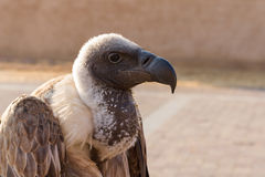 White headed Vulture Stock Image