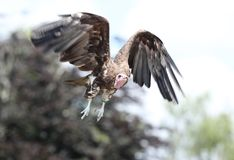 White Headed Vulture in flight. Looking for dead animals to eat stock photo