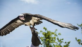White-headed Vulture flying. White-headed Vulture (Trigonoceps occipitalis) flying. This is an african vulture Royalty Free Stock Photography