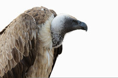 White-headed Vulture Royalty Free Stock Photography