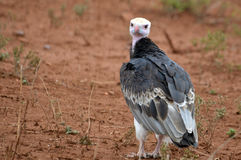 White-headed Vulture (Trigonoceps occipitalis). (Back view) is an Old World vulture endemic to Africa in Kruger National Park, South Africa Stock Images