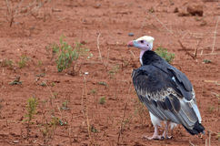 White-headed Vulture (Trigonoceps occipitalis). (Back view) is an Old World vulture endemic to Africa in Kruger National Park, South Africa royalty free stock images
