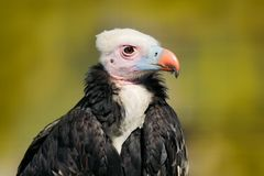 White-headed vulture, Trigonoceps occipitalis, detail head portrait of bird,  sitting on the tree branch with blue sky. Wildlife. Scene from nature, South stock images