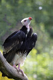 White-headed vulture, Trigonoceps occipitalis, has a white head. The White-headed vulture, Trigonoceps occipitalis, has a white head stock images