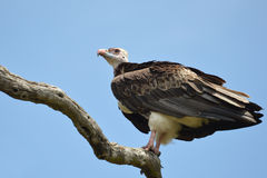 White-headed Vulture (Trigonoceps occipitalis) Stock Image