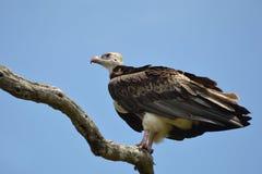 White-headed Vulture (Trigonoceps occipitalis) Stock Images