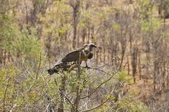 White-headed Vulture, Trigonoceps occipitalis, on the tree. The White-headed Vulture, Trigonoceps occipitalis, on the tree stock image